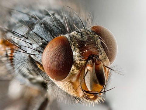 Como vivem as moscas